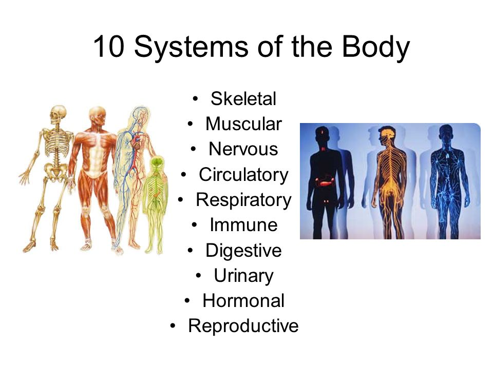 The Human Body. 10 Systems of the Body Skeletal Muscular Nervous ...
