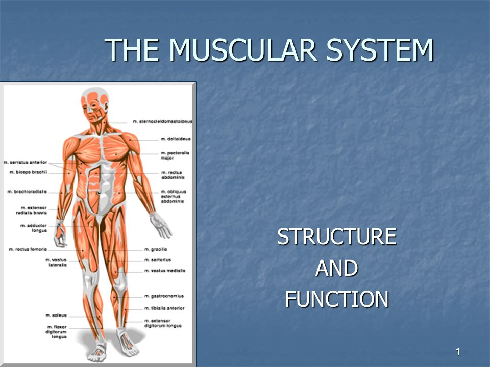 1 THE MUSCULAR SYSTEM STRUCTUREANDFUNCTION. 2 MUSCLE TISSUE Three ...