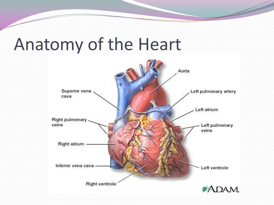 Electrocardiography. Anatomy of the Heart Circulation. - ppt download