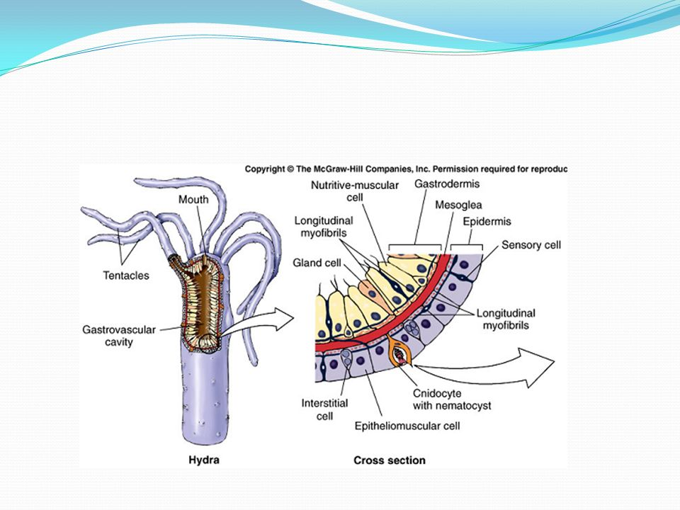 hydra nutritive muscular cells
