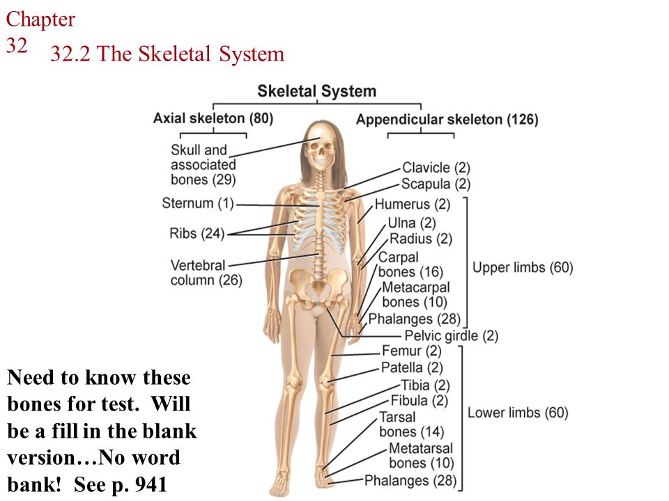 the skin skeletal system The human skeletal system is composed of 206 bones which shape the body and allow us to move it serves as protection for our soft organs such as the brain, lungs, and heart and provides muscle attachment for motion.