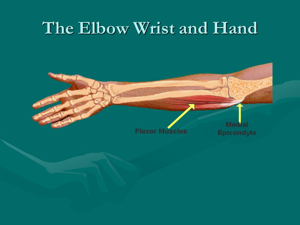 The Elbow Wrist and Hand. Bones of the Elbow Three bones of the ...
