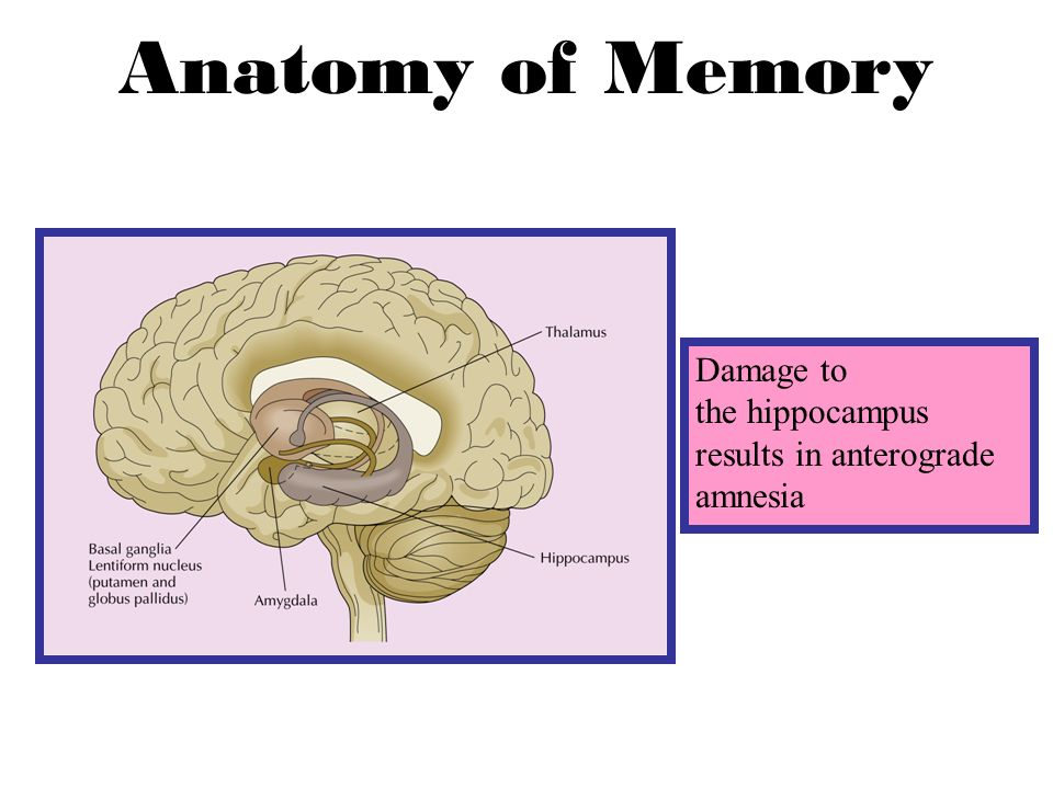 Biology And Memory The Hippocampus Anatomy Of Memory Damage To The