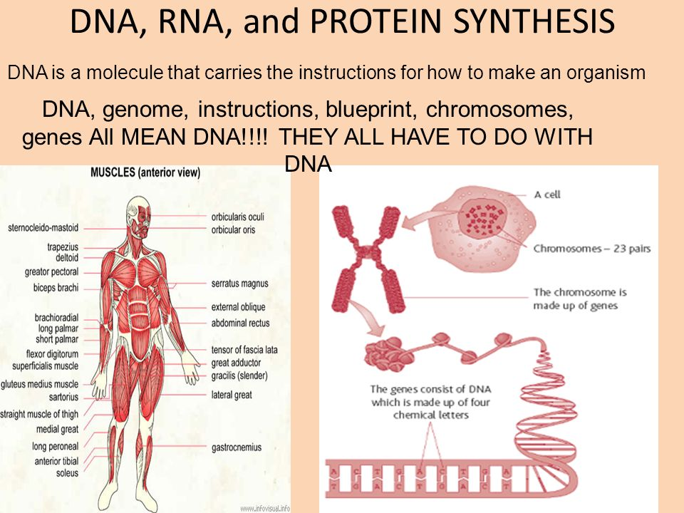 Dna rna and protein synthesis dna genome instructions blueprint dna rna and protein synthesis dna genome instructions blueprint chromosomes malvernweather Choice Image