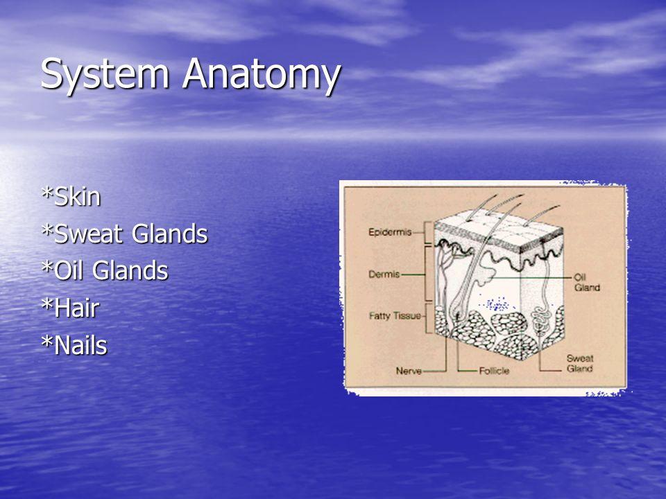 Integumentary System The Skinny on the Skin. System Anatomy *Skin ...
