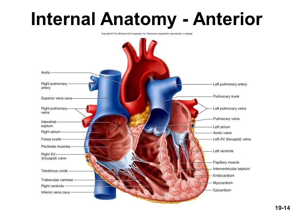 19-1 Circulatory System: The Heart Circulatory System: The Heart ...