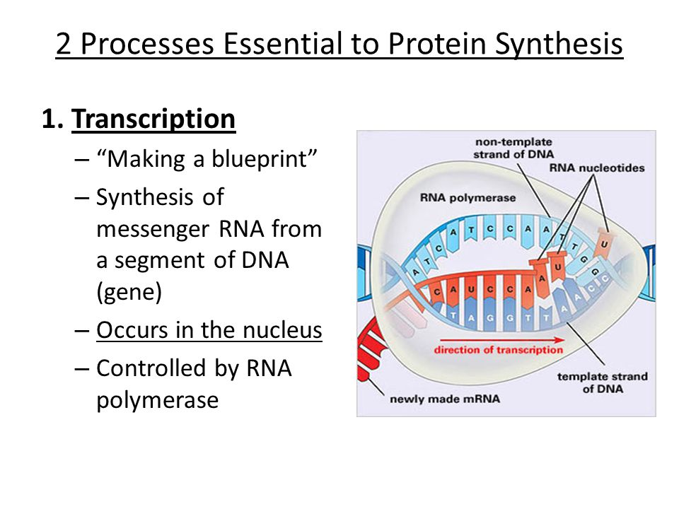 mrna protein sythesis Rna is synthesized from dna, and enters the ribosome where protein translation and synthesis occurs.