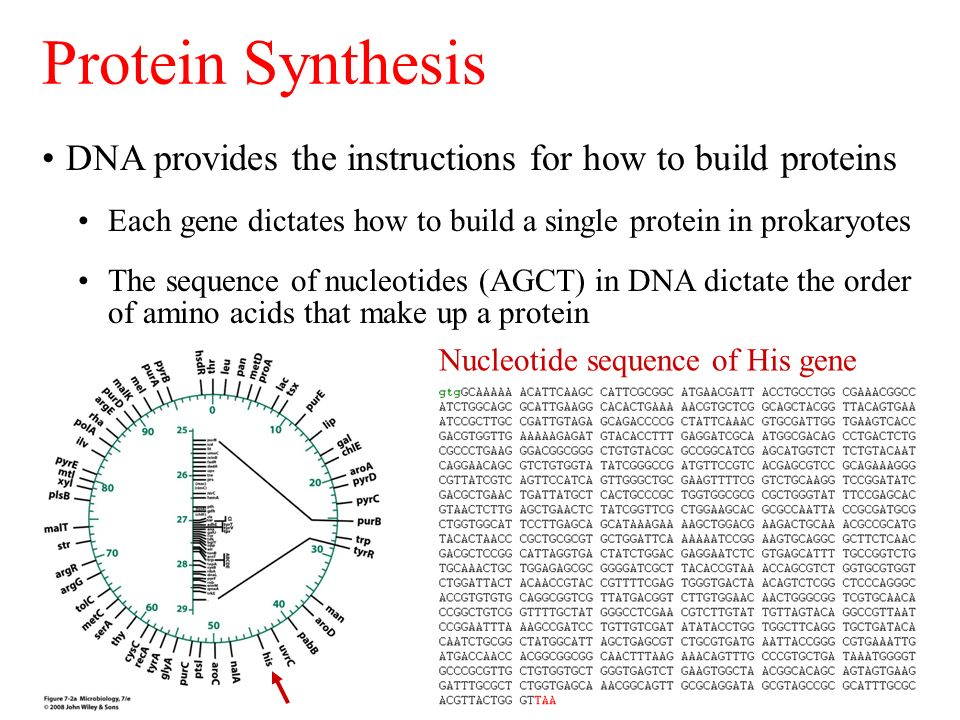 Dna Provides The Instructions For How To Build Proteins Each Gene