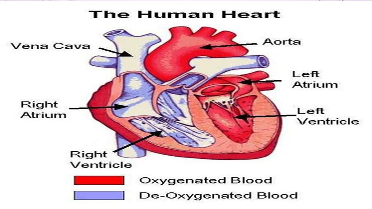 The Circulatory System And The Beat Goes On Ppt Download