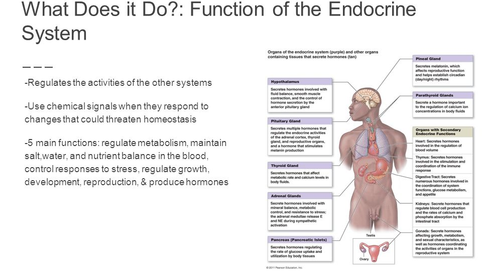 The Endocrine System By Shaila Essley & Isabella Urdiales Guzman ...