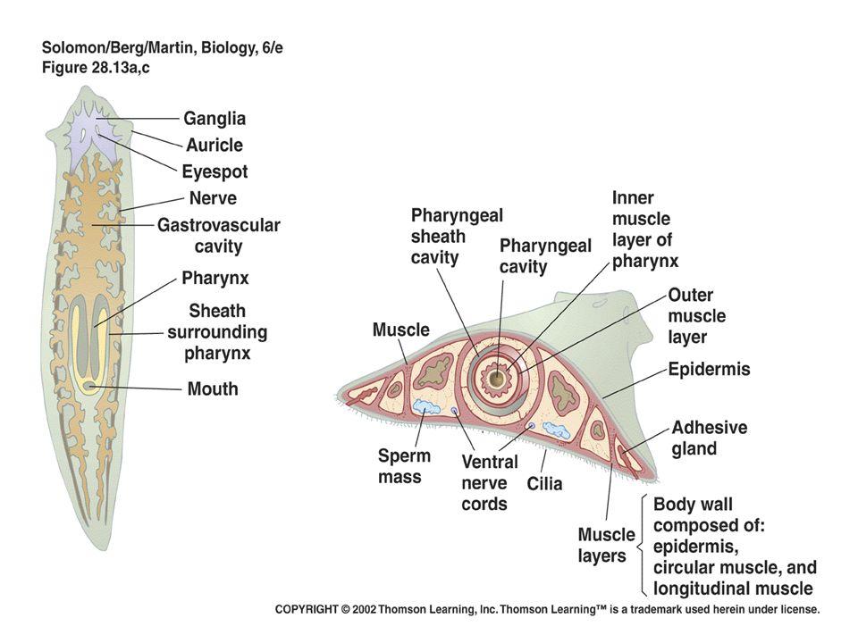 phylum platyhelminthes típusú coelom)