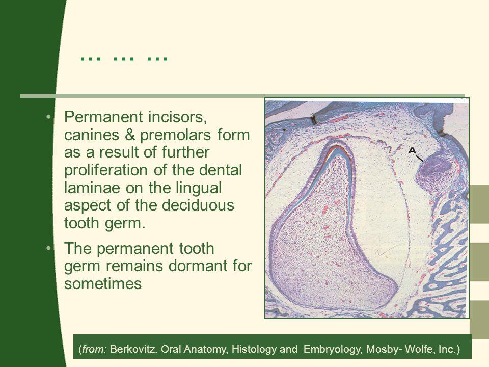 Development Of Teeth Odontogenesis Ppt Video Online Download