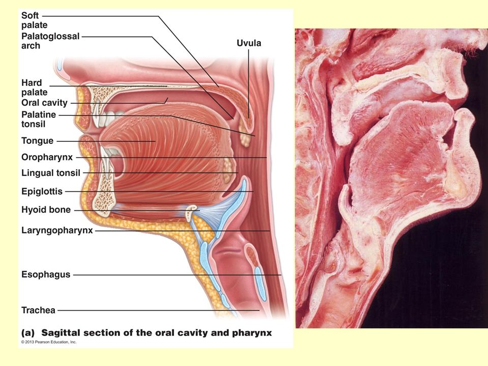 BIOL 204 Lab 11 Digestive System Anatomy. Gross Anatomy of the GI ...