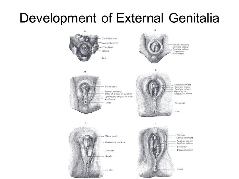 Development Of External Genitalia Homology Of Male And Female