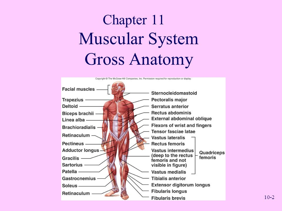 Muscular System Gross Anatomy Chapter ppt download