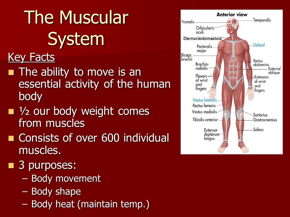 The muscular system key facts the ability to move is an essential the muscular system key facts the ability to move is an essential activity of the human ccuart Images