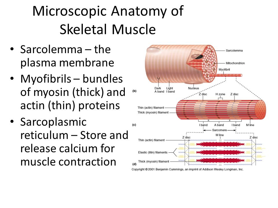 The Muscular System Learn the basic anatomy of a muscle fiber Become ...