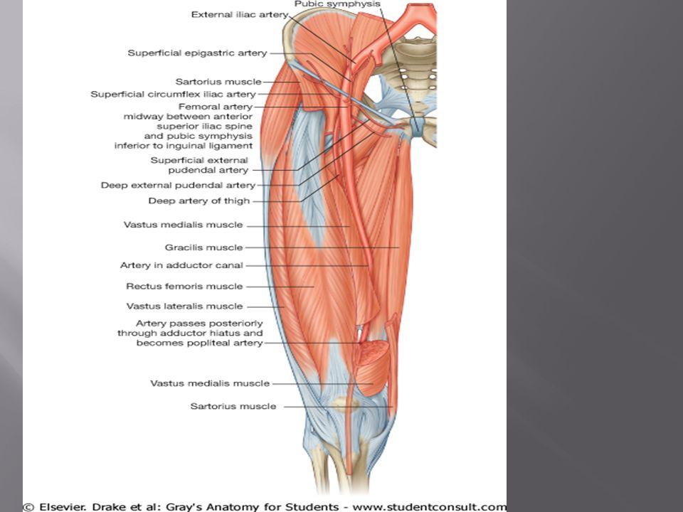 Lower limb. Lower limb QUADRICEPS FEMORIS RECTUS FEMORIS ...