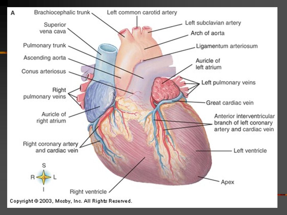 The Cardiovascular System Aka The Circulatory System Consists