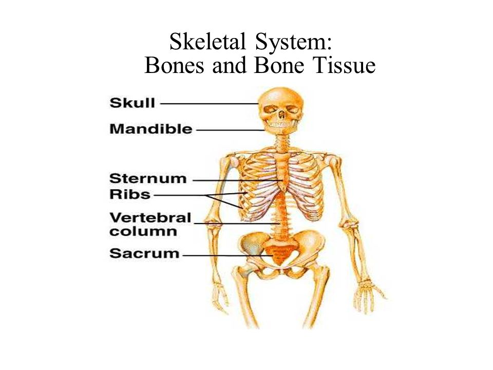 Skeletal System: Bones and Bone Tissue. Functions of the Skeletal ...
