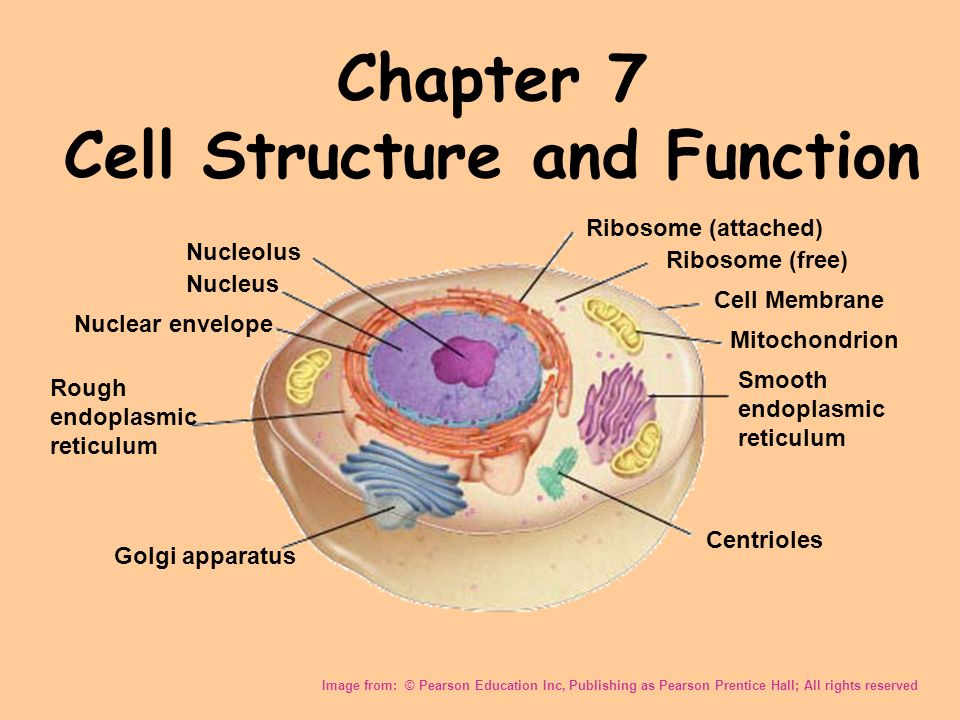 Pearson education cell diagram electrical drawing wiring diagram chapter 7 cell structure and function image from pearson rh slideplayer com pearson education animal cell ccuart Image collections