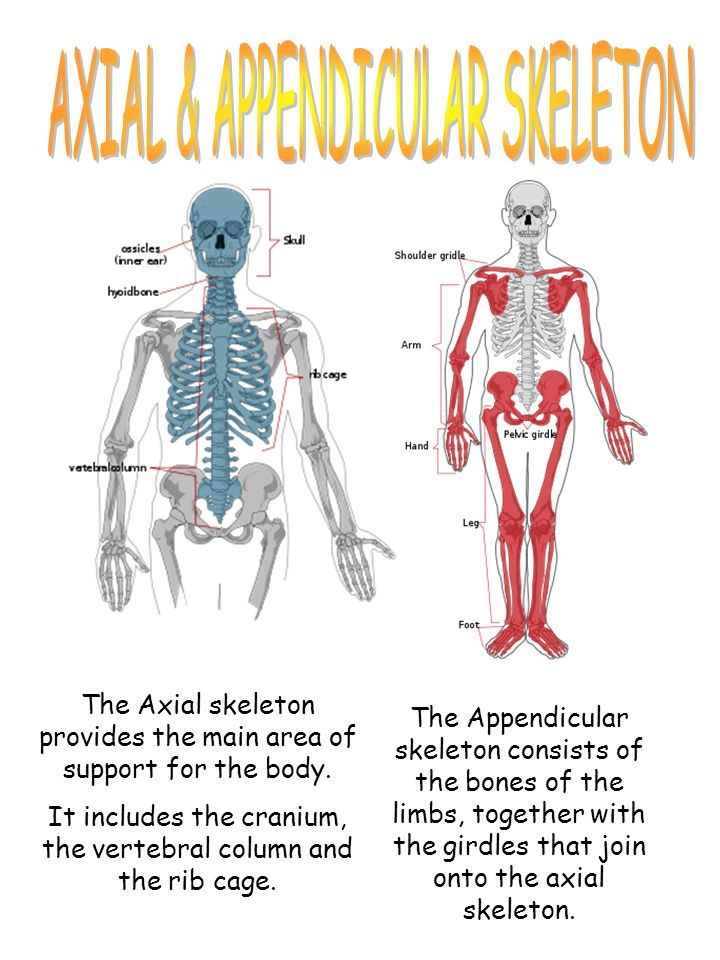 The Skeleton Is The Framework Of The Human Body The Skeletal System