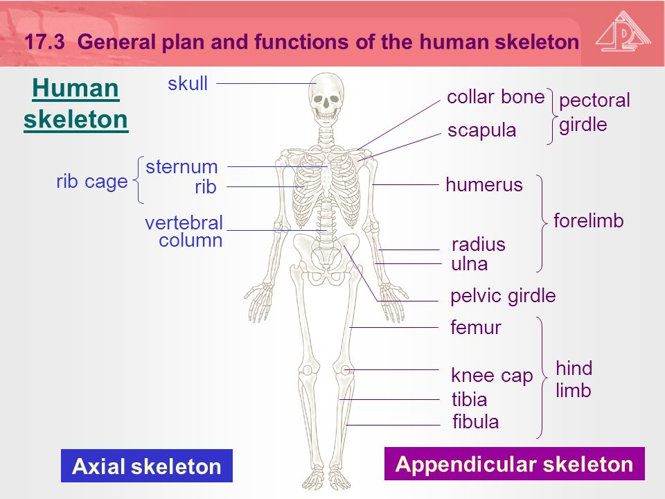 the structure of the human skeleton and the functions of each part Together these structures form the human skeleton skeleton can be defined as the hard framework of human body around which the entire body is built almost all the hard parts of human body are components of human skeletal system joints are very important because they make the hard and.