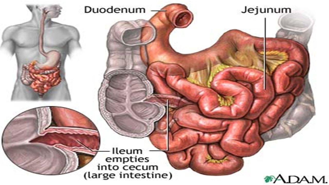Anatomy Small Intestine Small Bowel Ppt Download