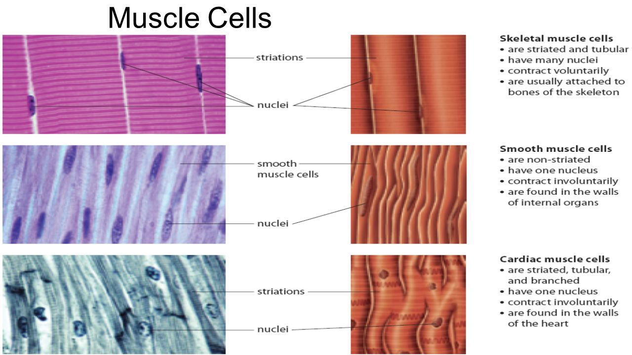 Muscular System Muscle Cells Three Types Of Muscles Smooth Muscle