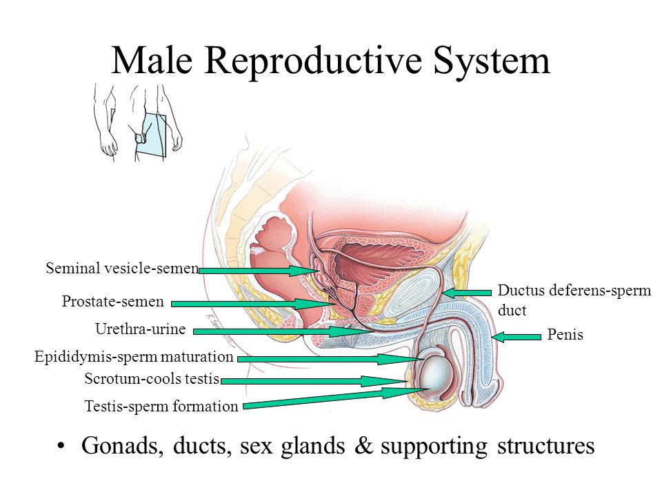 The Reproductive System Anatomy and Physiology of the Male and ...