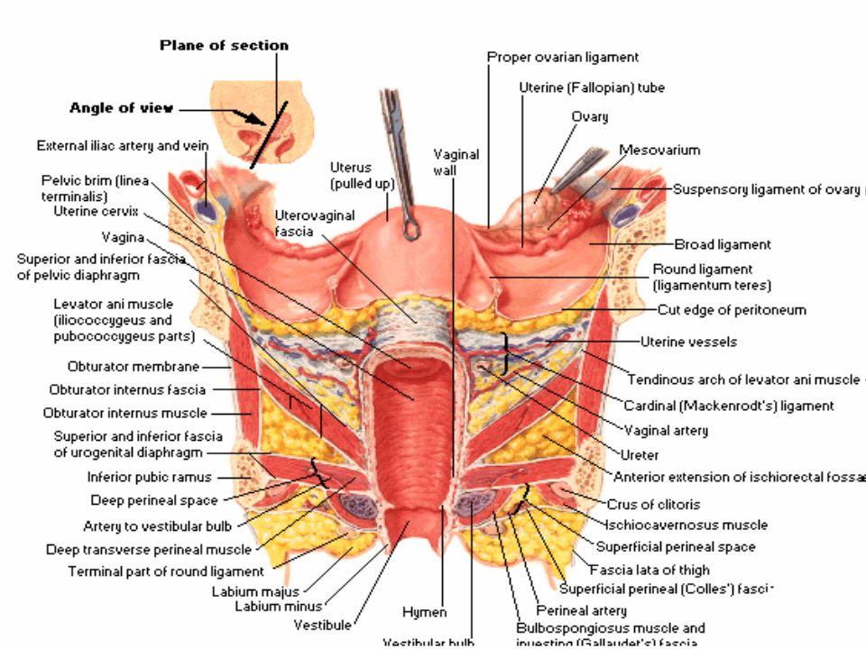 Internal genitalia of Female - ppt video online download
