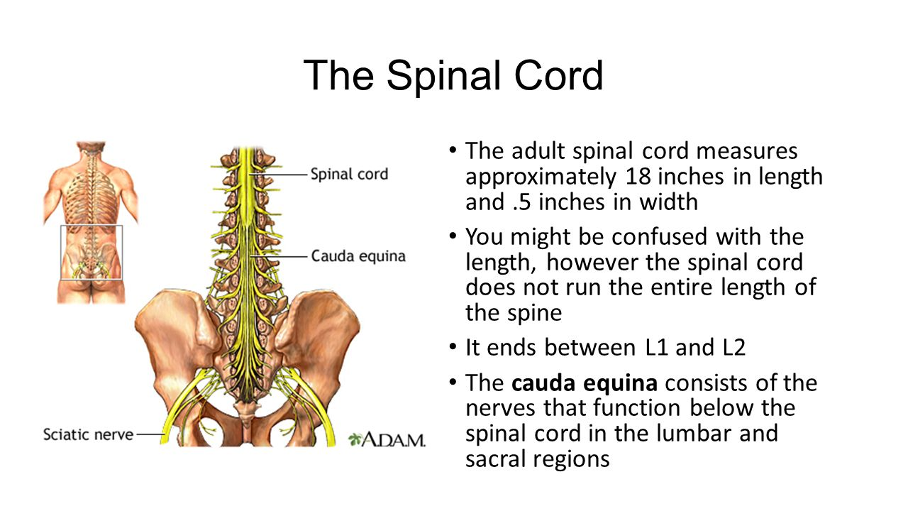 Spinal Nerves Whos The Boss The Brain And Spine Make Up The