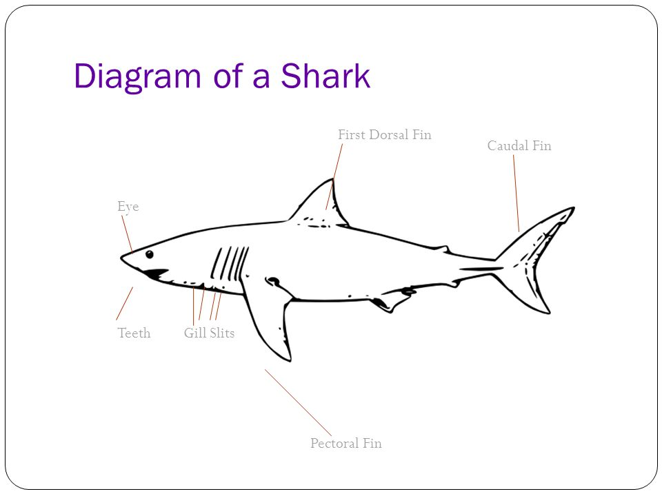 bull shark a bull sharks belly is off-white  their top surface is gray