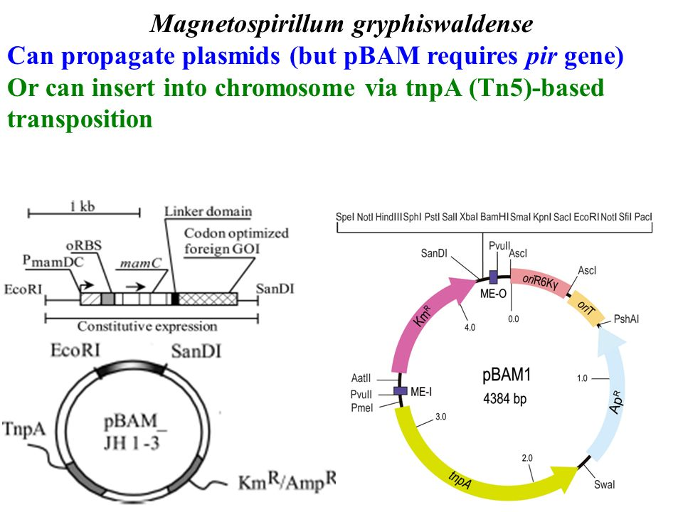 Engineering magnetosomes to express novel proteins which ones must 2 magnetospirillum gryphiswaldense can propagate plasmids but pbam requires pir gene or can insert into chromosome via tnpa tn5 based transposition malvernweather Choice Image