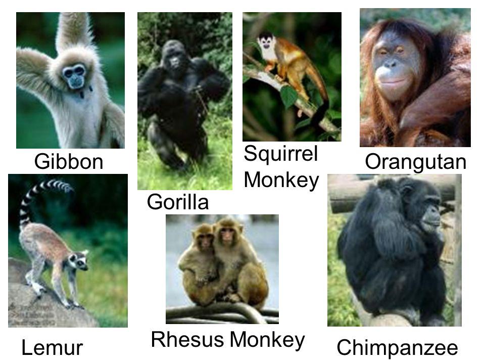 Gibbon Gorilla Orangutan Chimpanzee Squirrel Monkey Lemur