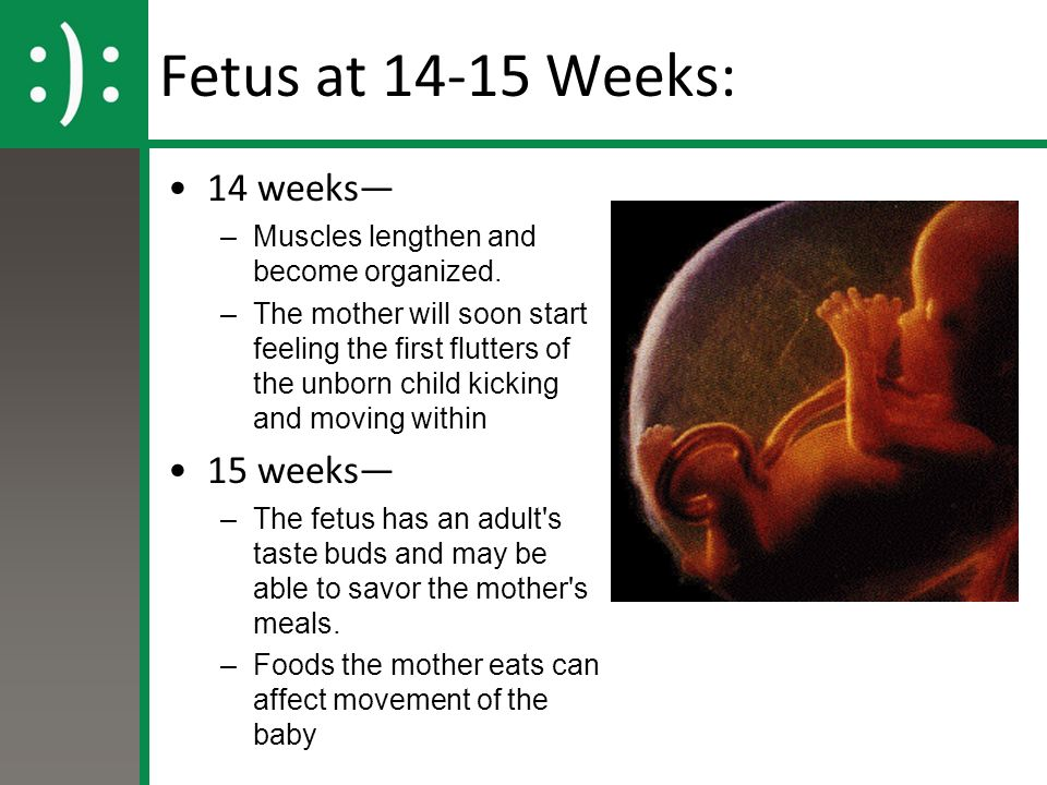 Fetus at Weeks: 14 weeks— –Muscles lengthen and become organized.
