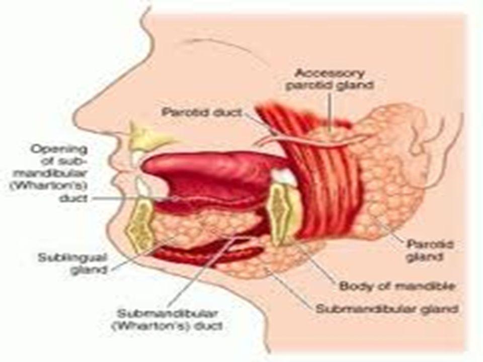 Salivary glands. - ppt video online download