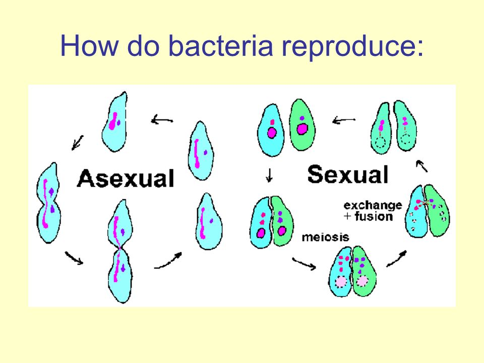 What process does bacteria reproduce asexually