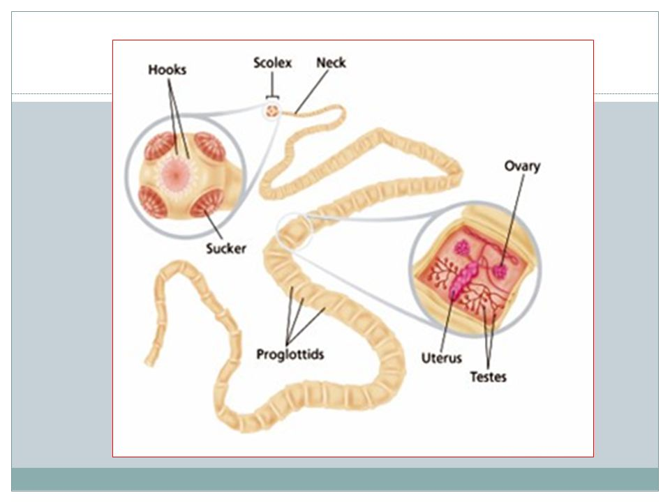 CESTODES (TAPEWORMS) The tapeworms are hermaphroditic and require an