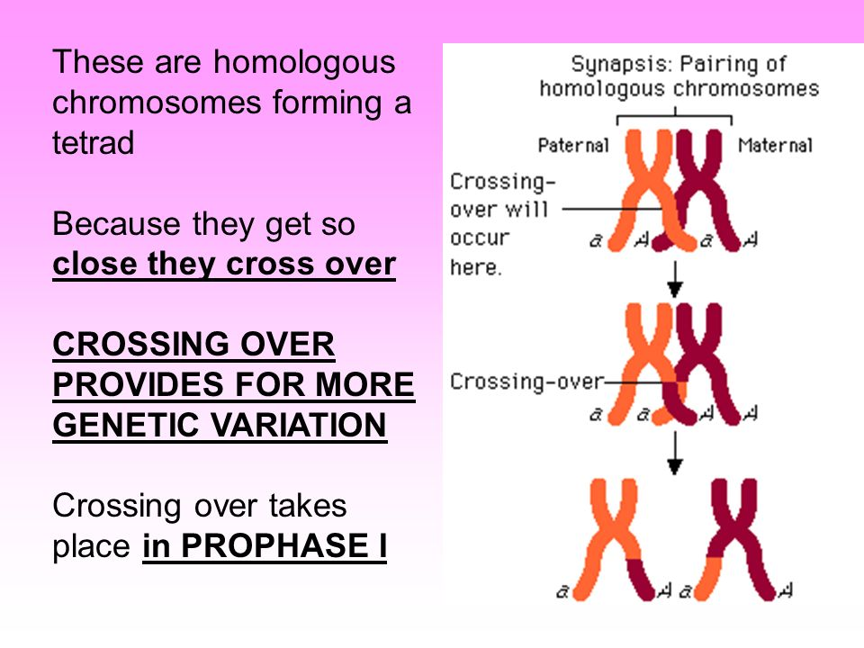 Tetrad formation occurs during asexual reproduction