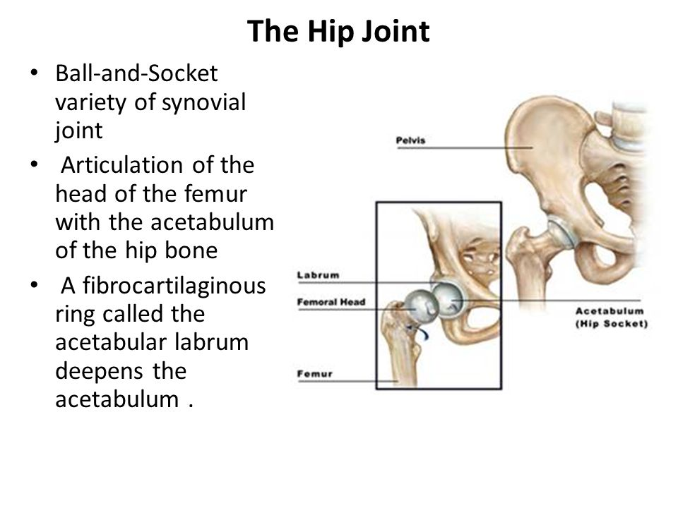 Hip Joint Type Ball Socket Variety Of Synovial Joint