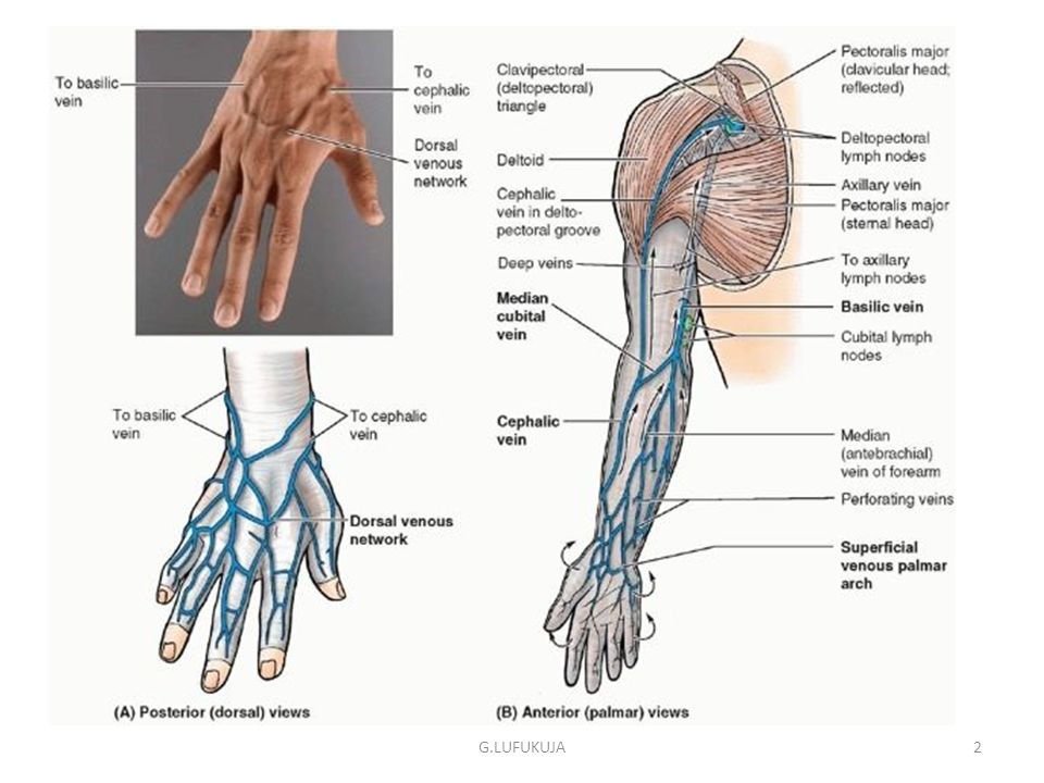 Upper Limb- Blood & nerve supply; effects of nerve injury G ...