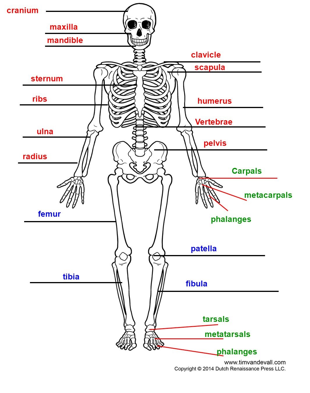 Cells Tissue Skeletal Organs Bones System The Skeletal System