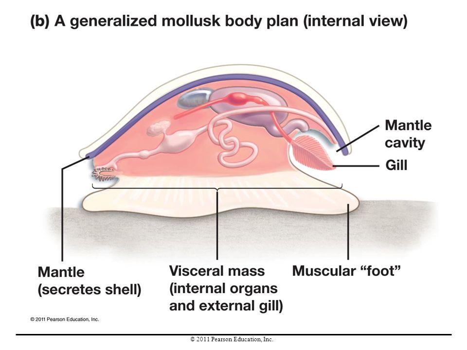 Mollusk Diagram Pearson Illustration Of Wiring Diagram