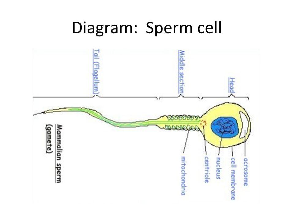 Diagram of sperm — 5