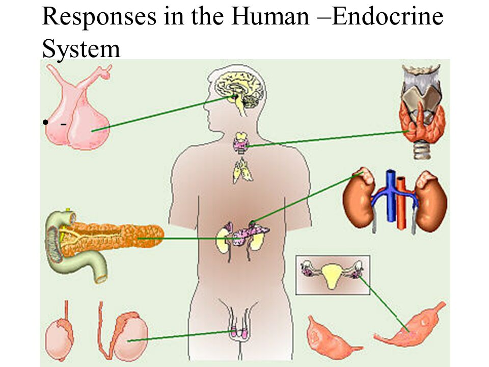 Responses in the Human –Endocrine System.  Define the term ...