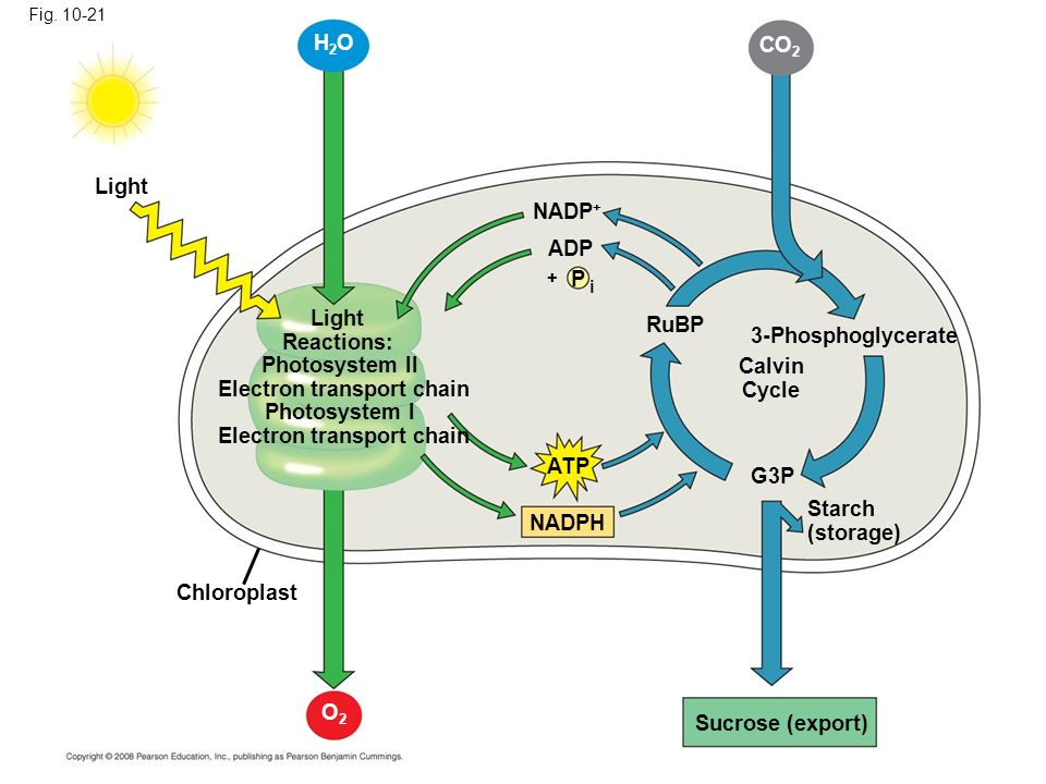 Concept 101 photosynthesis converts light energy to the chemical 41 fig ccuart Image collections