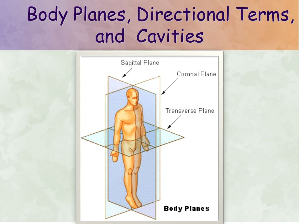 Body Planes Directional Terms And Cavities Body Planes