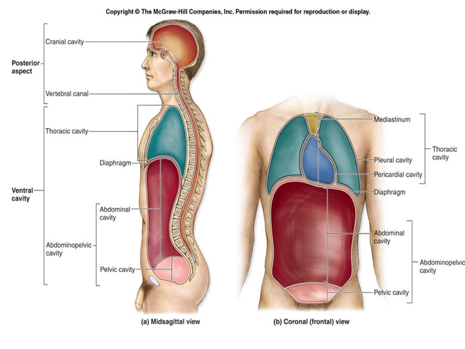 The Human Body Cavities The Human Body Has 4 Major Body Cavities 1