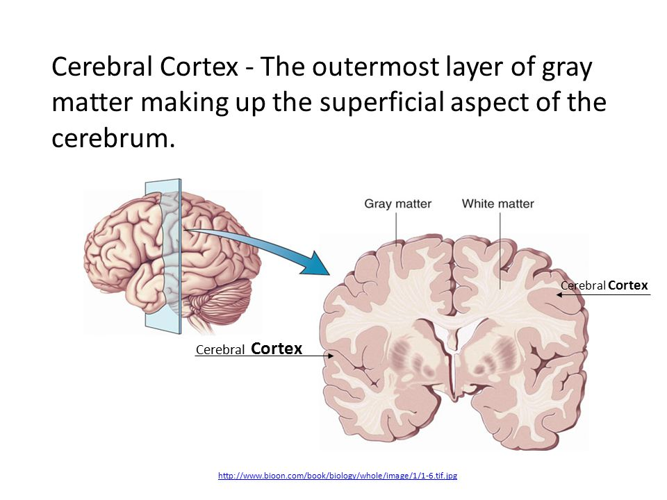 Lobes, the Cerebral Cortex, and Cortical Regions of the Brain. - ppt ...